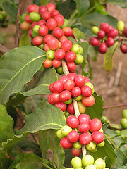 Coffee Cherries, by Scot Nelson (on Flickr)